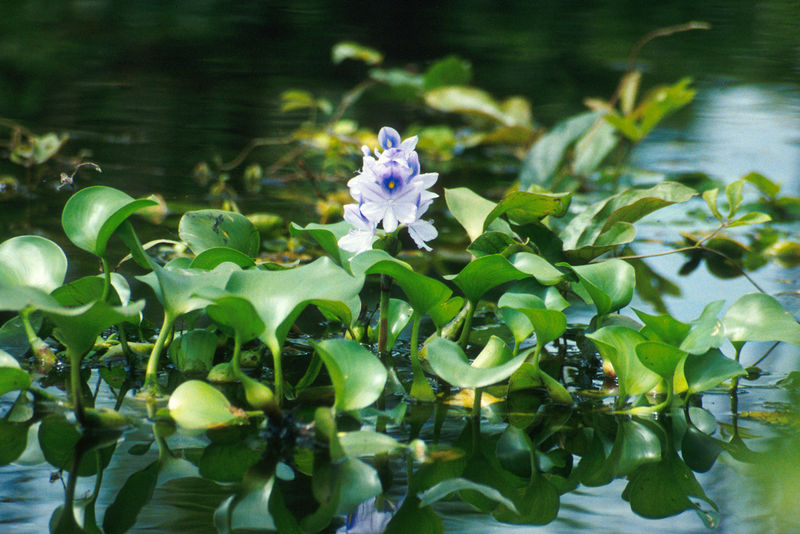 Water hyacinth floating plants for Floating pond plants