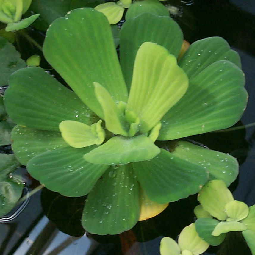 Water lettuce floating plants for Aquatic pond plants